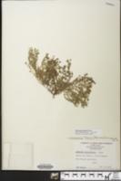 Image of Euphorbia turpinii