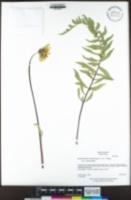 Image of Balsamorhiza macrolepis