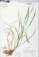 Carex manhartii image
