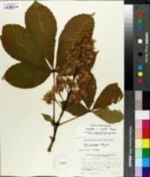 Aesculus carnea image