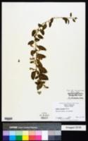 Lycium chinense image