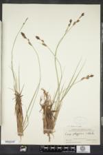 Carex buxbaumii image