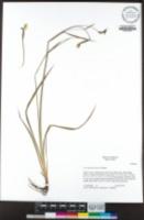 Sisyrinchium bellum image
