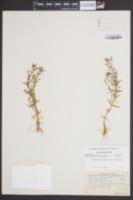 Image of Gratiola ramosa