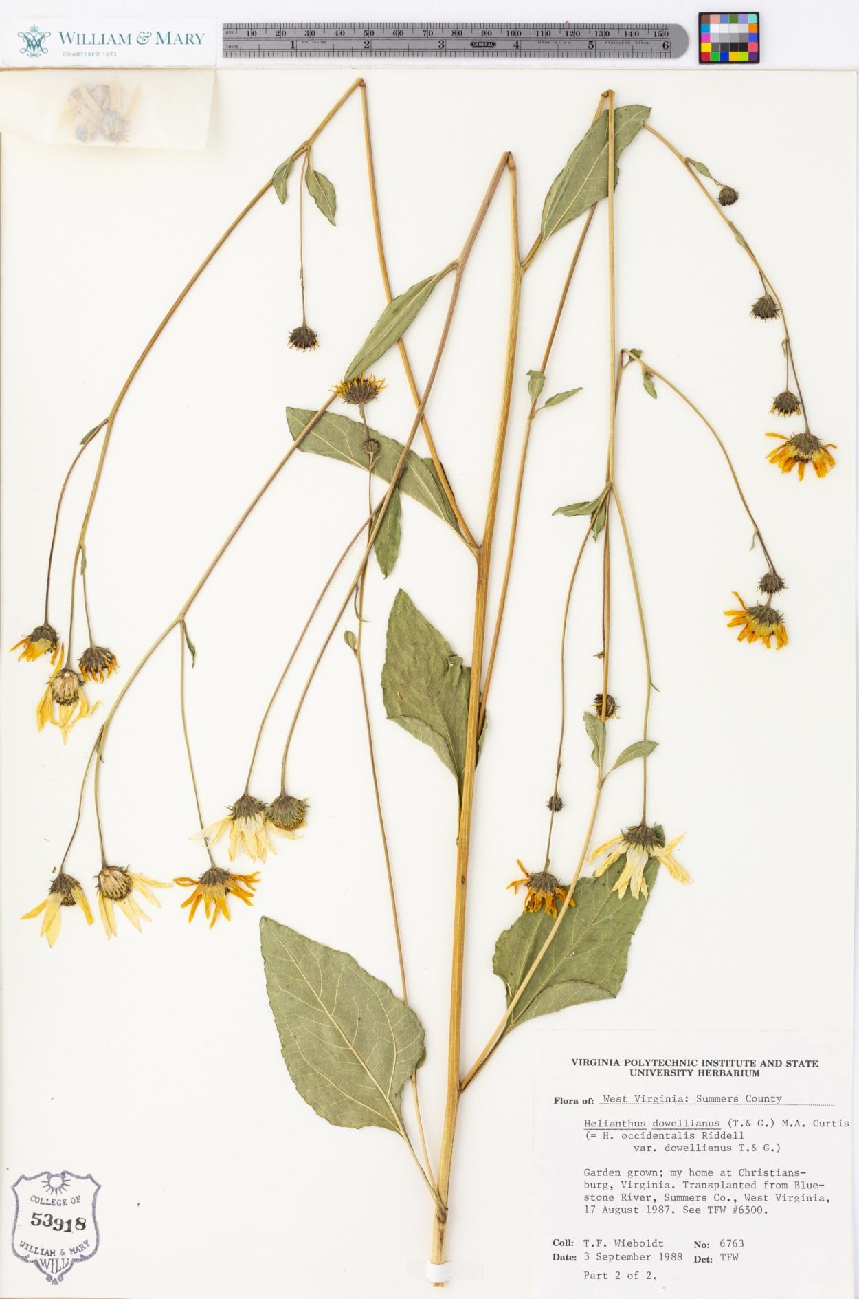 Helianthus dowellianus image