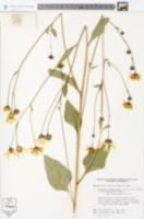 Image of Helianthus dowellianus