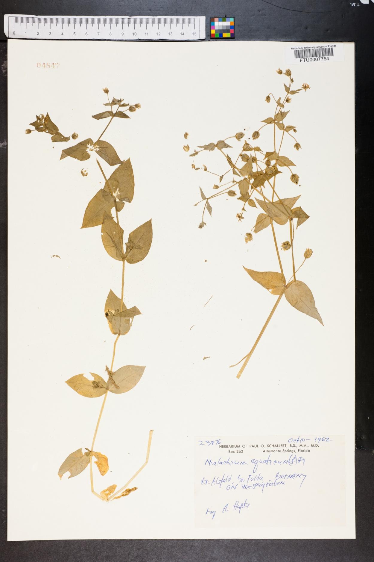 Malachium aquaticum image