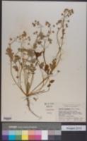 Phacelia platycarpa image
