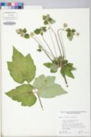Anemone hupehensis image