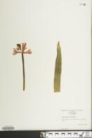 Hyacinthus orientalis image
