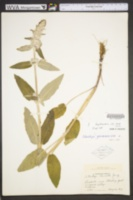 Stachys germanica image