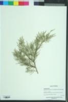 Cupressus chengiana image