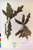 Image of Quercus comptoniae