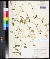 Image of Stellaria prostrata