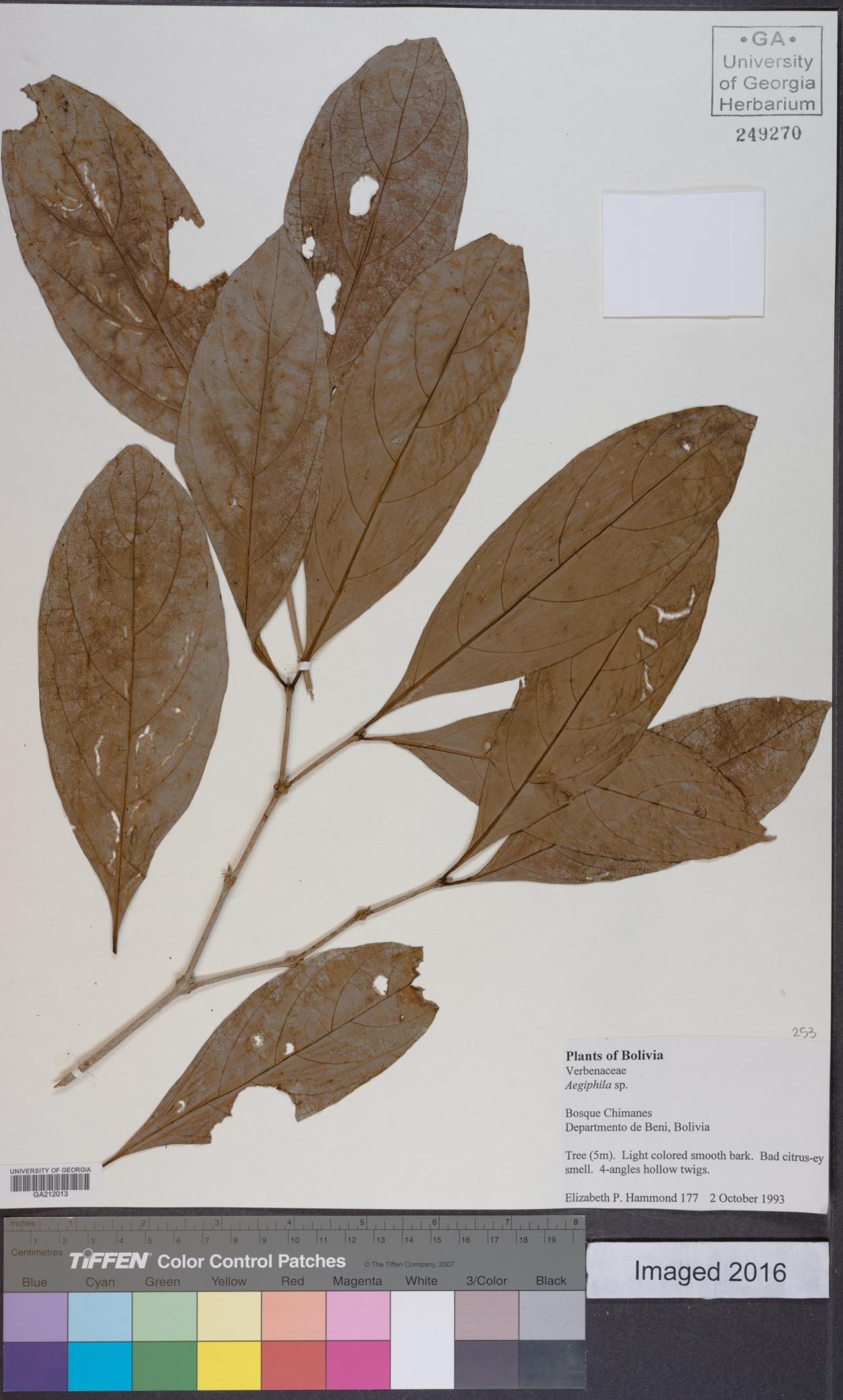 Aegiphila image