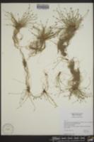 Scirpus cernuus image