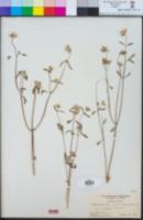 Monardella exilis image