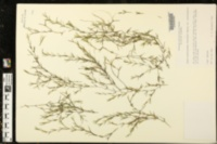 Najas guadalupensis var. guadalupensis image