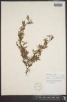 Image of Vachellia peninsularis