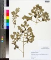 Image of Marrubium peregrinum