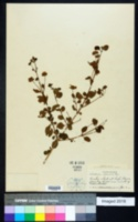Image of Lantana reticulata