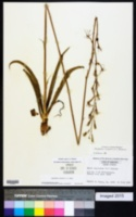 Polianthes virginica image