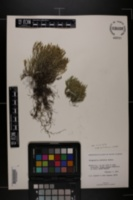 Selaginella arenicola subsp. arenicola image