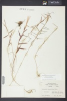Gymnopogon brevifolius image
