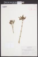 Borrichia frutescens image