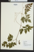 Ampelopsis arborea image