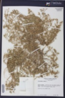 Scleranthus annuus image