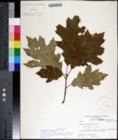 Image of Quercus borealis