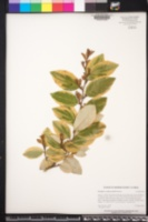 Elaeagnus x submacrophylla image