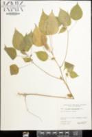 Image of Acalypha alopecuroidea
