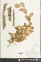 Crataegus punctata image