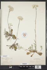 Antennaria howellii subsp. petaloidea image
