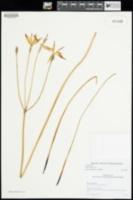 Milla biflora image
