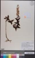 Lysimachia asperulifolia image