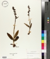 Ophrys insectifera image