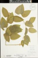 Smilax herbacea var. lasioneura image