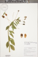 Image of Burmeistera cyclostigmata