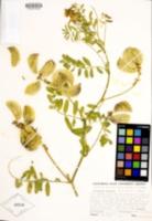 Astragalus nuttallii image