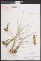 Panicum repens image