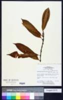 Image of Microgramma persicariifolia