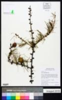 Larix occidentalis image