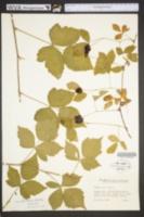 Rubus leviculus image