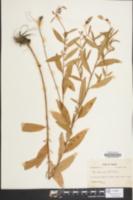 Image of Oenothera fruticosa