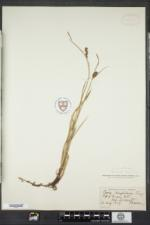 Carex houghtonii image