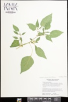 Calliphysalis carpenteri image