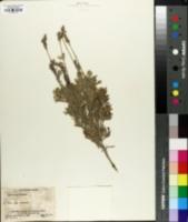 Image of Lavandula pinnata